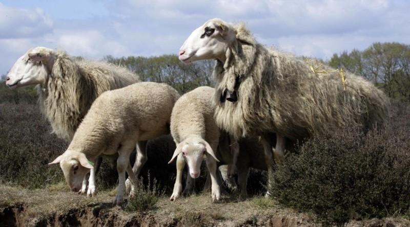 Landschap Overijssel saneert schaapskudde weg