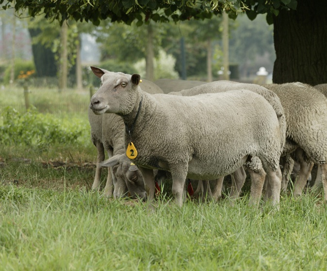 Brabant legt schapenhouderij aan banden