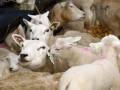 I&R schapen