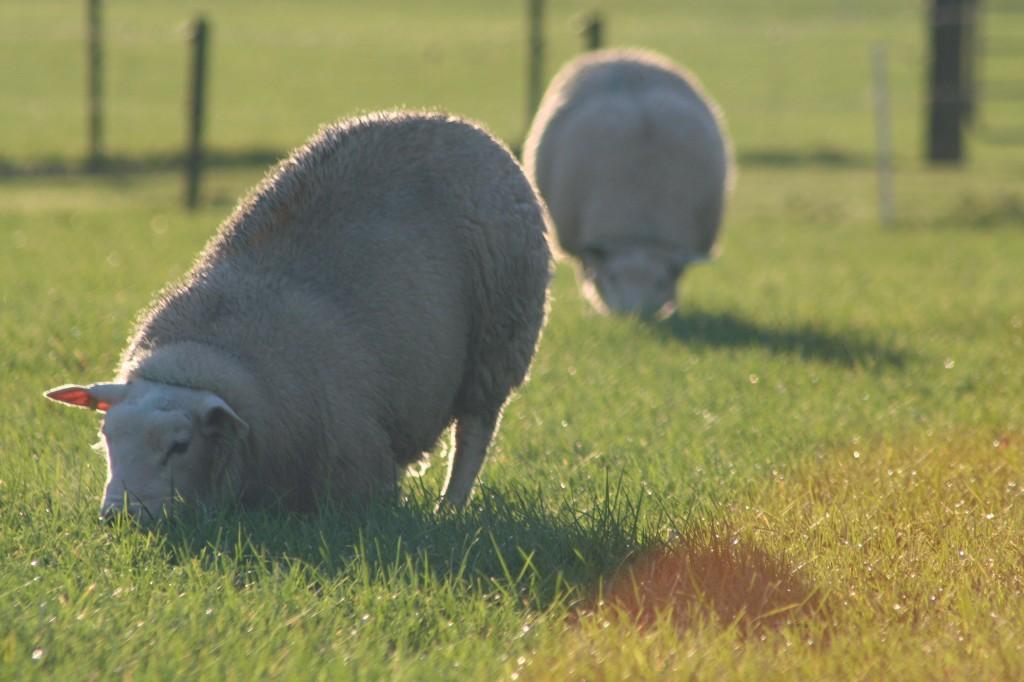 De NSFO is op zoek naar schapenhouders voor een onderzoek naar ...