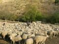 In Frankrijk stierven honderden schapen door blaaswormen