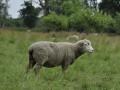 schaap in Vlaanderen