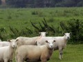 Veel schapen hebben dit jaar last van de maagdarmworm haemonchus
