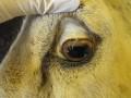 DGZ haemonchus bleek oogslijmvlies