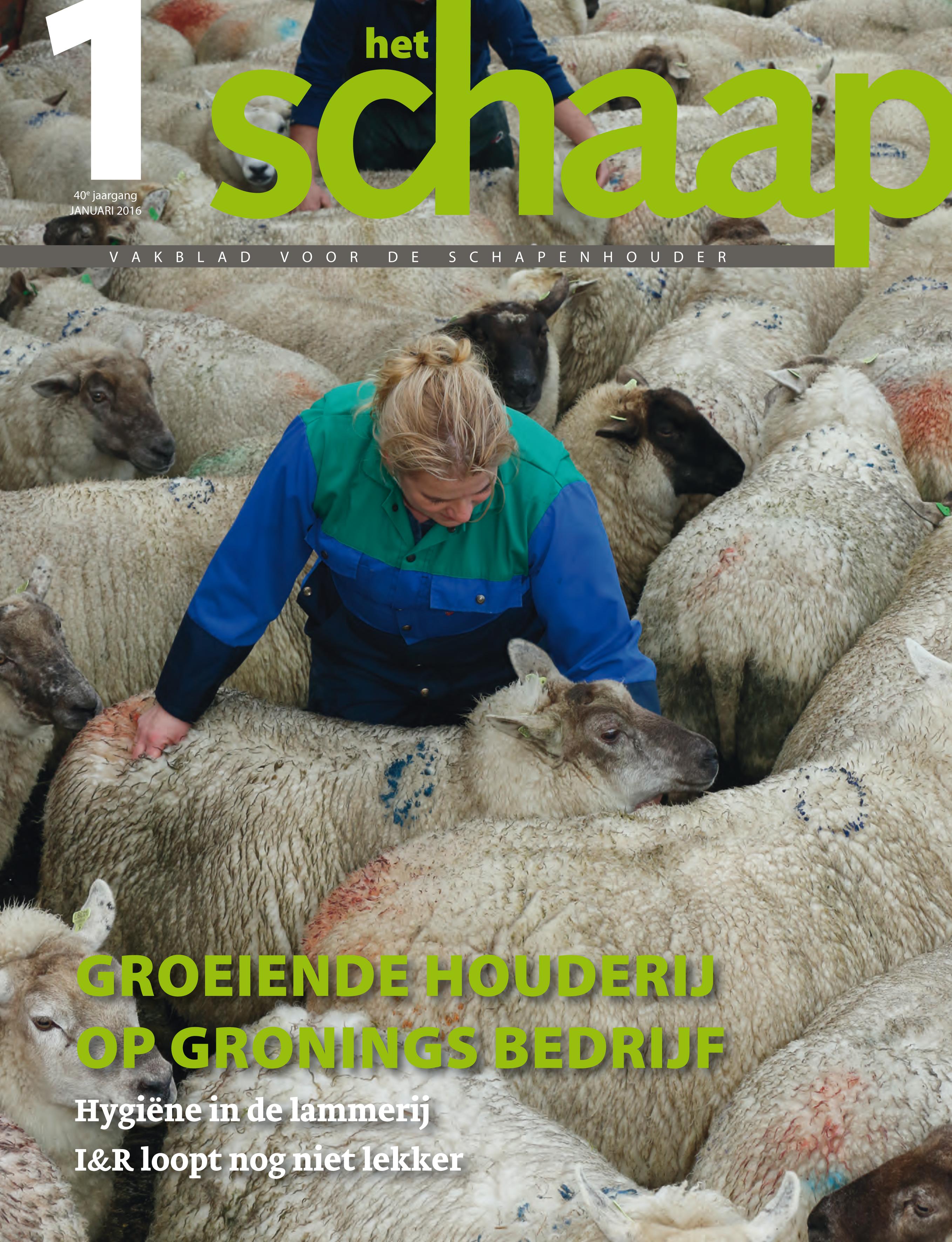 Texelse schapen en rammen van schapen fokbedrijf Capellegoed