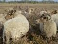 Voor Het Schaap Drentse heideschapen van de kudde van Marianne Duinkerken uit Balloo