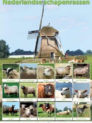 poster Nederlandse schapenrassen
