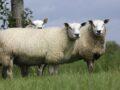 gestolen schapen
