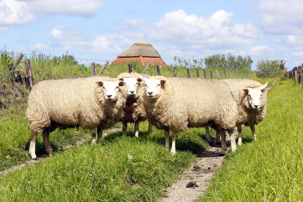 Texel gaat schapenhouderij steunen • Het Schaap - Het schaap