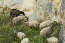 zeldzame schapen